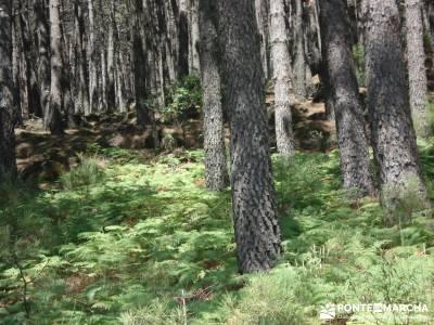 Pinares de Piedralaves; rutas cerca de madrid excursiones por madrid bosques encantados